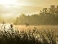 BBA965 Golden Reeds Llangorse Lake