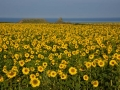 GB85 Sunflowers Rhossili
