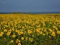 GB87 Sunflowers Rhossili