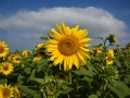 GB94 Sunflowers 2019 Rhossili