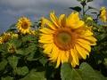 GB93 Sunflowers 2019 Rhossili