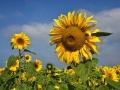 GB92 Sunflowers 2019 Rhossili