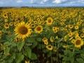 GB86 Sunflowers Rhossili