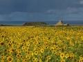 GB84 Sunflowers Rhossili