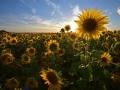 GB88 Sunflowers Rhossili